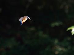 青い翼-5【カワセミ】