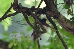 サンコの森【サンコウチョウ】