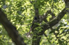 暗い森の奥で【サンコウチョウ】