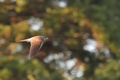 高速飛翔【チョウゲンボウ】