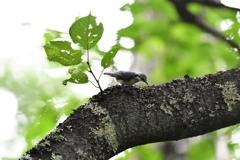戸隠森林植物園【ゴジュウカラ 幼鳥】