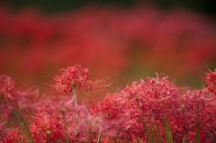 赤の花群れ(逆バージョン)