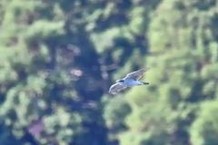 湖面を飛ぶ【オオタカ】