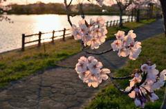 夕景の桜模様