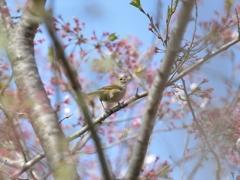 春色【ウグイス】