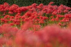 赤の花群れ