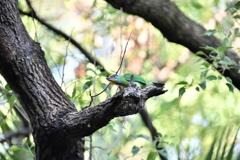 台北植物園【五色鳥】
