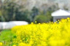 ほわほわ【菜の花畑】