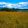 黄花秋桜の丘