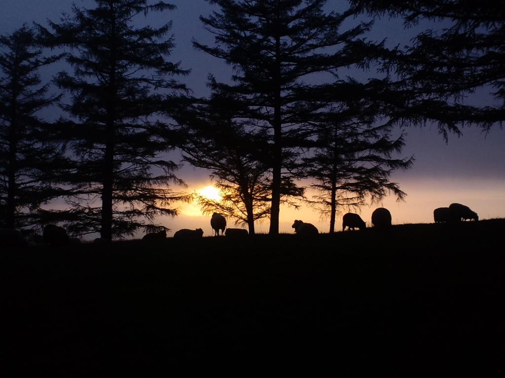 夕方の羊達