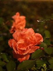 Night ROSE