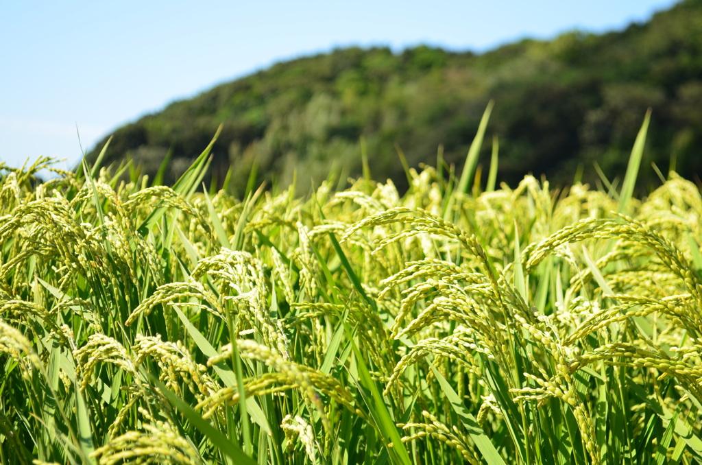 少し帰らない間に、稲は育っていました。