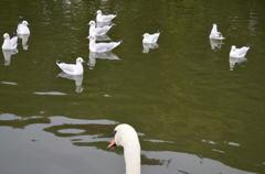 カモメを眺める白鳥