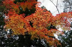 晩秋の鹿苑寺紅葉