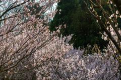 庄川・桜めぐりⅡ その17