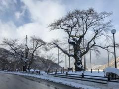 冬到来 庄川桜