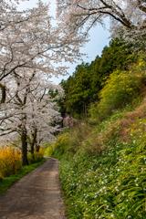 庄川・桜めぐりⅡ その3