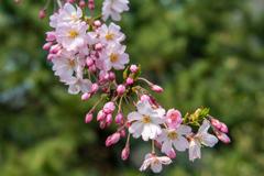 庄川・桜めぐりⅡ その16