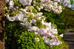 春 膨らむ2