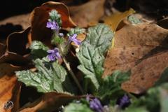 枯れ葉に春の花