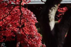 真っ赤に燃える樹の下で