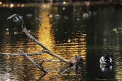 玉藻の池の鴨