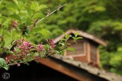 山の宿に咲くタニウツギ