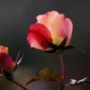 冬のバラ -2