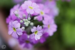 咲く咲くサクラソウ