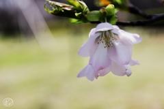 にじむ春の色