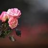 冬のバラ -5