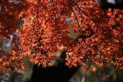 御苑の紅葉 -12