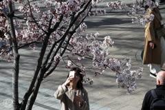 街角桜-5