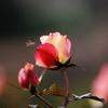 冬のバラ -1