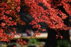 御苑の紅葉 -15