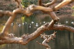 池の鴨たち