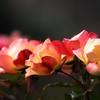 冬のバラ -3