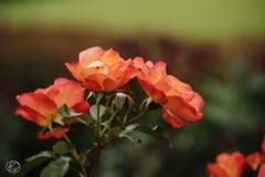夏を迎えるバラ