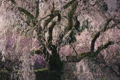 四方に伸ばす枝と繊細な枝垂れ