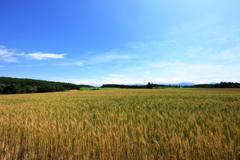 美瑛の丘に広がる金の麦畑
