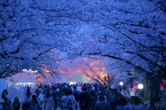 万博記念公園の桜トンネル