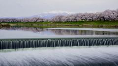 曇り空の白石川堤一目千本桜と冠雪の蔵王