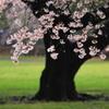 緑の草地と雨に濡れたソメイヨシノ