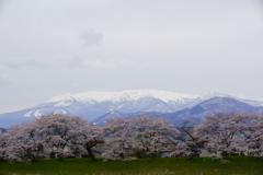蔵王の雪とピンクの桜