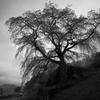 又兵衛桜の夜明けは雨が降っていた