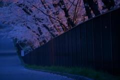 フェンス越しの桜を愛でる