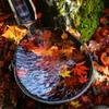 Jewel of autumn in the bucket