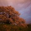 桜色に染まる墳守の桜