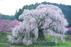 The Matabe cherry tree