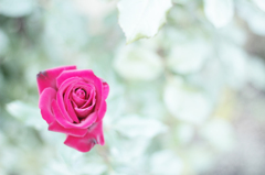 赤い薔薇2